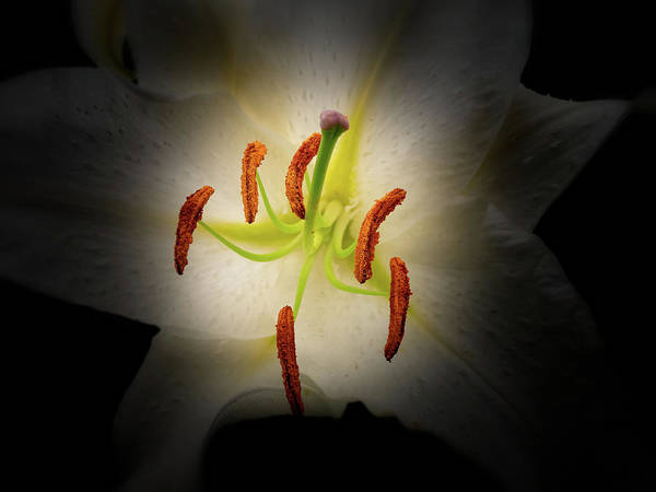 Photograph - Oriental Lily by Thomas Hall