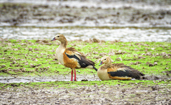 Photograph - Orinoco Goose Guanapalo Casanare Colombia by Adam Rainoff