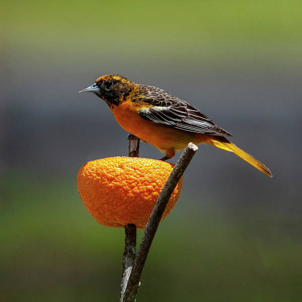 Photograph - Oriole And Orange by Cathy Kovarik