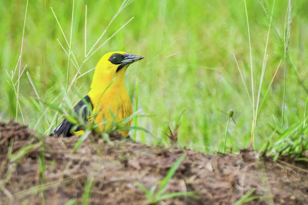 Photograph - Oriole Blackbird Hato Barley Tauramena Casanare Colombia by Adam Rainoff