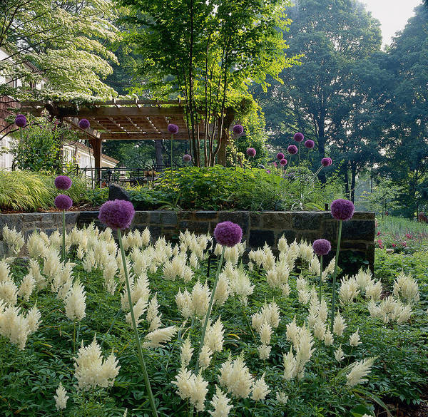 Fortified Wall Art - Photograph - Ornamental Onions Allium And Astilbe by Richard Felber
