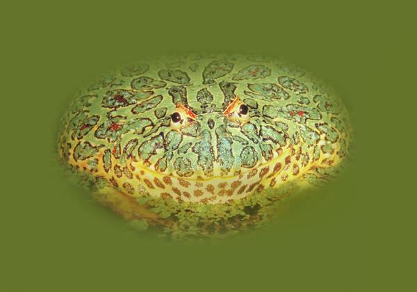 Wall Art - Photograph - Ornate Horned Frog by Art Spectrum