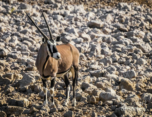 Photograph - Oryx, Etosha National Park, Namibia by Lyl Dil Creations