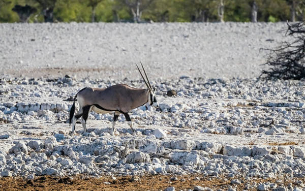 Photograph - Oryx In The Etosha National Park, Namibia by Lyl Dil Creations