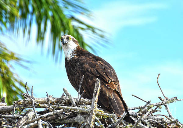 Photograph - Osprey 2 by Christine Dekkers
