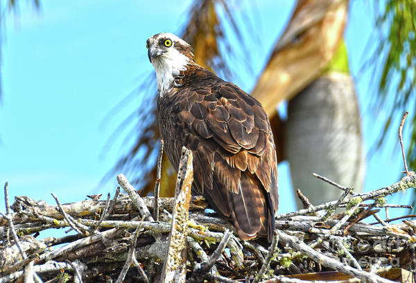 Photograph - Osprey 3 by Christine Dekkers