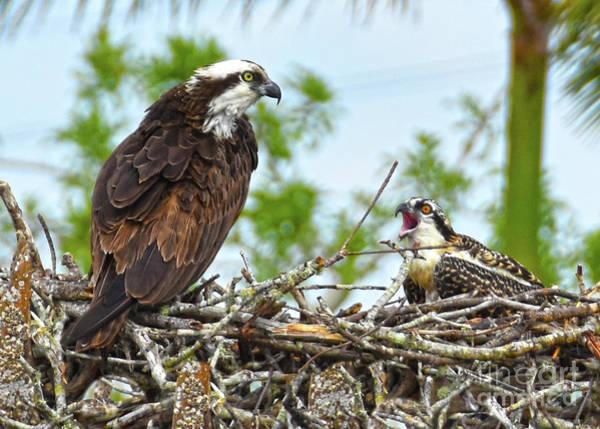Photograph - Osprey Chick Eyass by Christine Dekkers