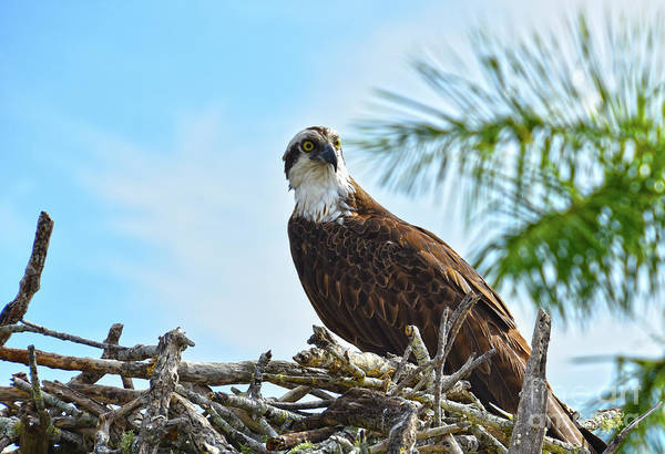 Photograph - Osprey by Christine Dekkers