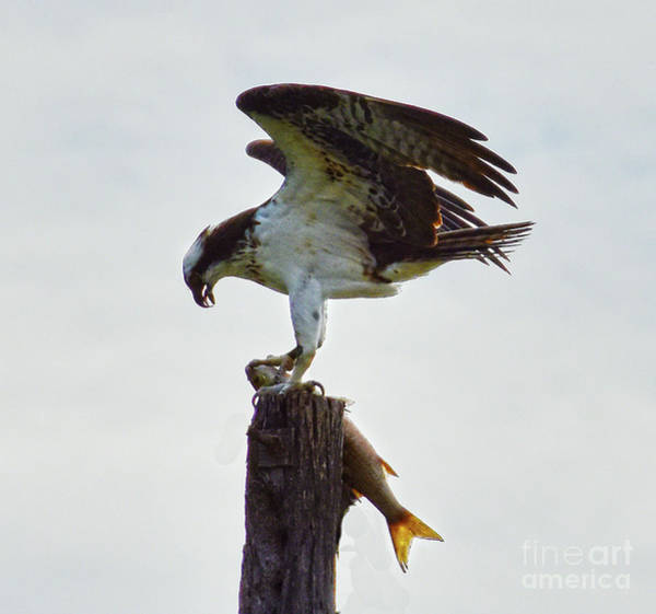 Photograph - Osprey Hunter by Christine Dekkers