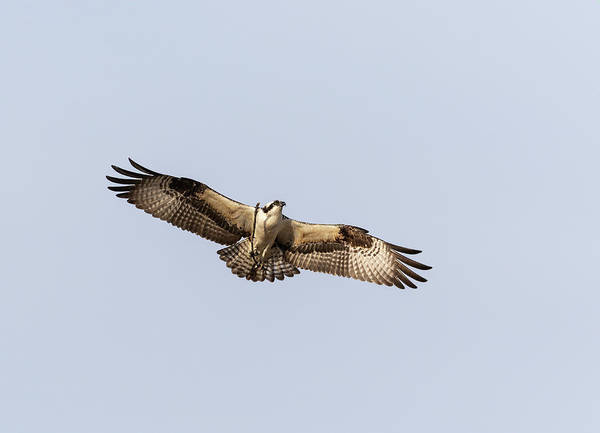 Photograph - Osprey 2019-1 by Thomas Young