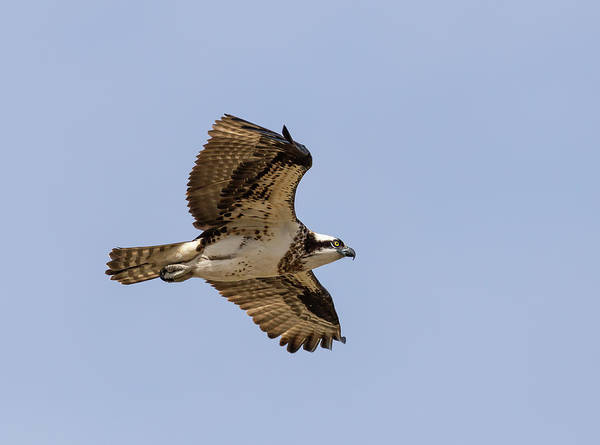 Photograph - Osprey 2019-4 by Thomas Young