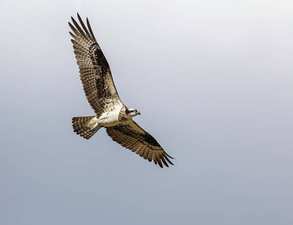 Photograph - Osprey 2019-6 by Thomas Young