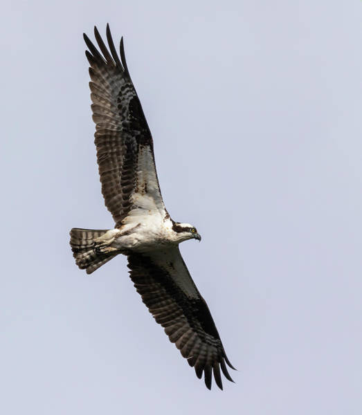 Photograph - Osprey 2019-7 by Thomas Young