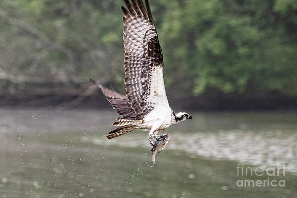 Wall Art - Photograph - Osprey 2961t by Doug Berry