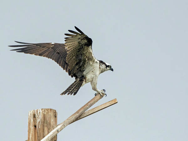 Photograph - Osprey 3156-091918-1cr by Tam Ryan