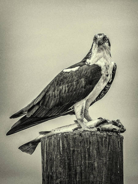 Wall Art - Photograph - Osprey And Its Catch by Andrew Wilson