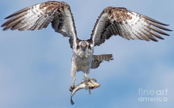 Wall Art - Photograph - Osprey by Carl Jackson
