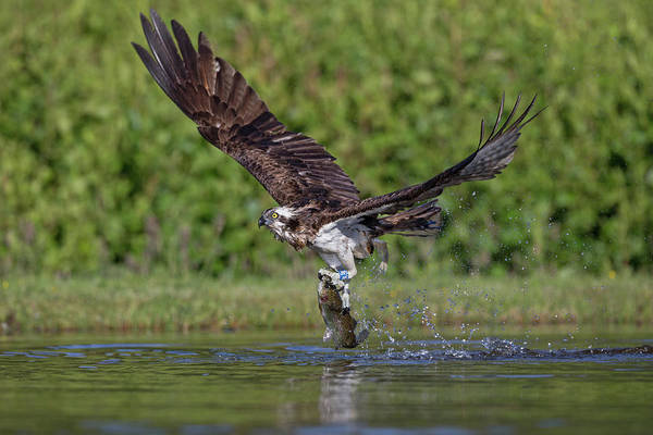 Photograph - Osprey Carrying Fish Away by Peter Walkden