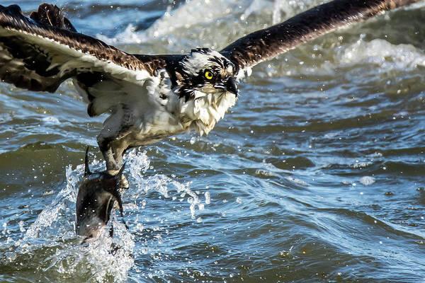 Wall Art - Photograph - Osprey Catch Close Up by Linda Eszenyi
