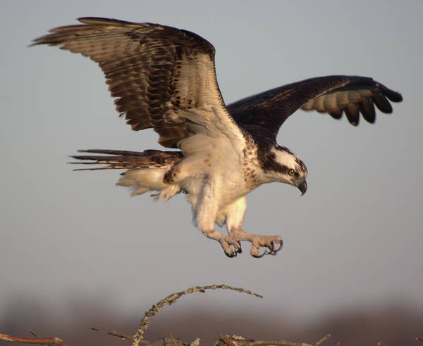 Photograph - Osprey Flight 2 by Buddy Scott