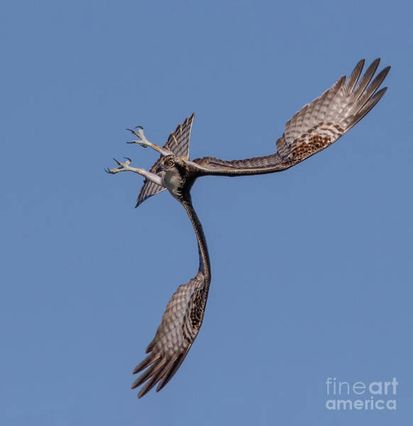 Photograph - Osprey Flip by Beth Sargent