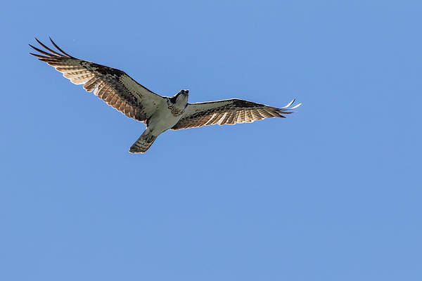 Photograph - Osprey Flying Against A Blue Sky by Belinda Greb