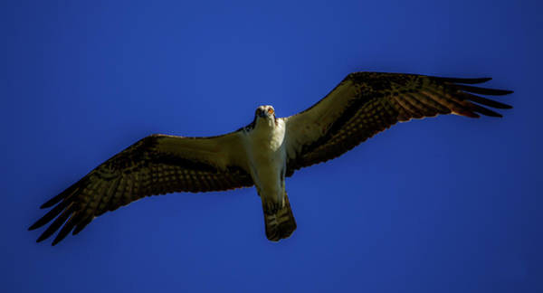 Photograph - Osprey Glide In Blue by Kevin Banker