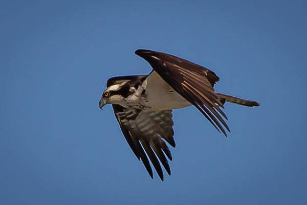 Wall Art - Photograph - Osprey Gliding by Lora J Wilson