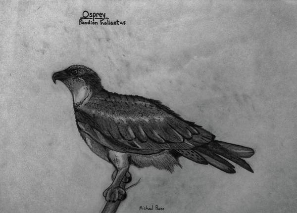 Wall Art - Drawing - Osprey Id In Pencil by Michael Panno