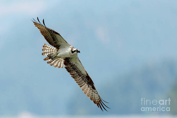 Photograph - Osprey In Flight by Beve Brown-Clark Photography