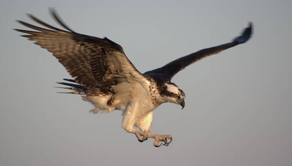 Photograph - Osprey In Flight by Buddy Scott