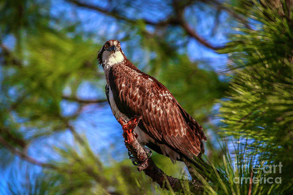 Photograph - Osprey Lookin' At Ya by Tom Claud