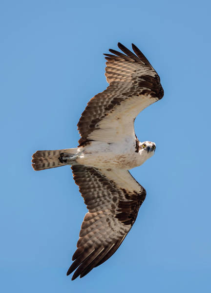 Photograph - Osprey Looking At The Camera by Loree Johnson