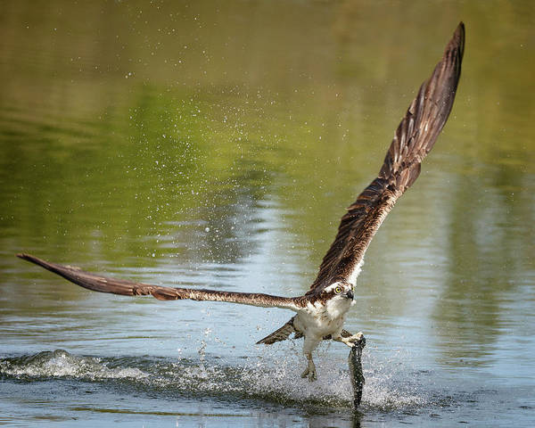 Photograph - Osprey Lunch On The Go by Wes and Dotty Weber