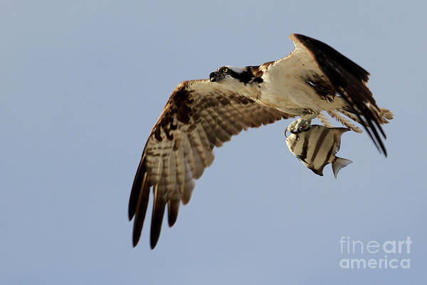 Photograph - Osprey  by Meg Rousher