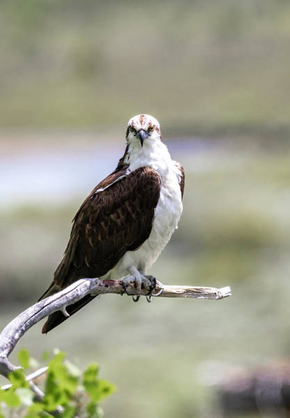 Photograph - Osprey by Michael Chatt