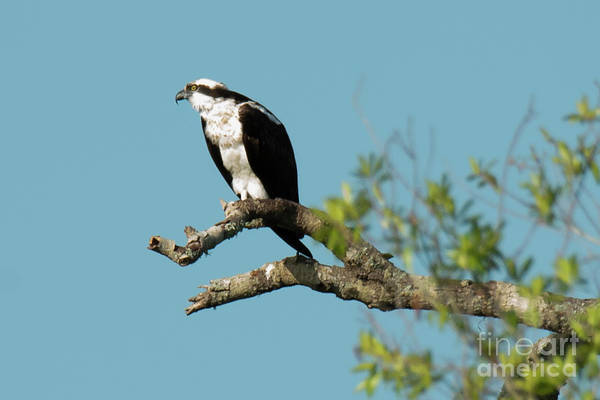 Photograph - Osprey by Michael D Miller