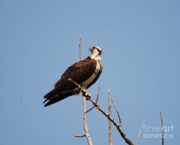 Wall Art - Photograph - Osprey On A Branch by Jeff Swan