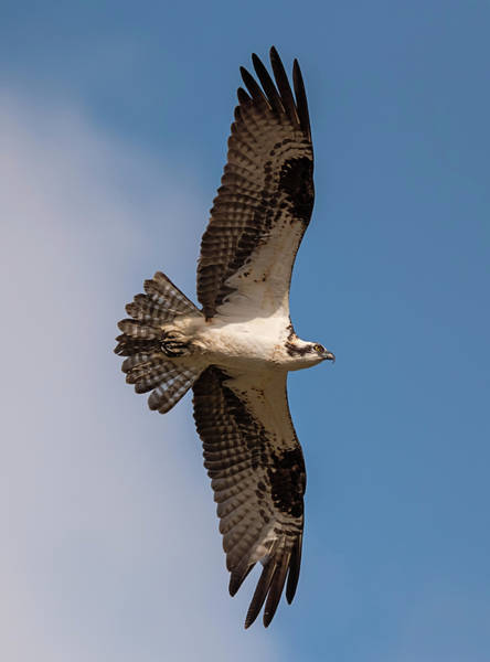 Photograph - Osprey On A Mission by Loree Johnson