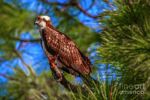 Photograph - Osprey On Limb by Tom Claud