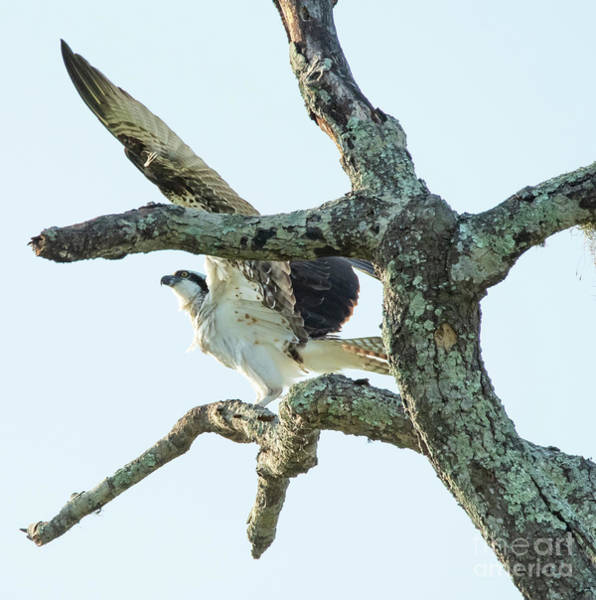 Photograph - Osprey On Snag by Michael D Miller