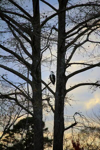 Photograph - Osprey Perched Between Trees by Cynthia Guinn
