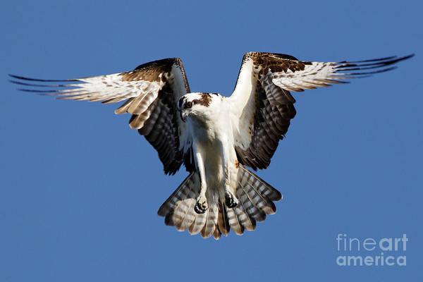 Photograph - Osprey by Sue Harper