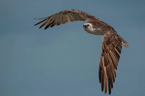 Photograph - Osprey by Thomas Kallmeyer
