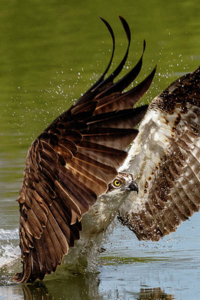 Photograph - Osprey Up Close by Wes and Dotty Weber