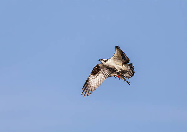 Photograph - Osprey With Catch 2019 by Thomas Young