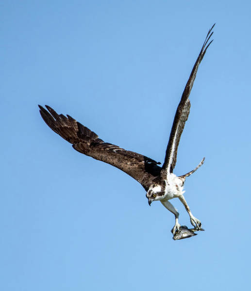 Photograph - Osprey With Fish 7052-041419 by Tam Ryan