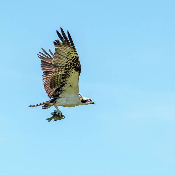 Photograph - Osprey With Fish 7062-041419 by Tam Ryan