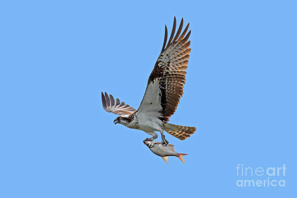 Photograph - Osprey With Fish by Arterra Picture Library