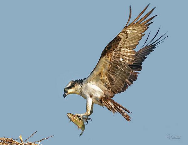Photograph - Osprey With Fish by Judi Dressler